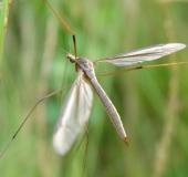 009-Wiesenschnake-Tipula-paludosa-L.-Klasing-