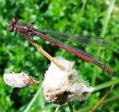 008-Frühe-Adonislibelle-Pyrrhosoma-nymphula-L. Klasing