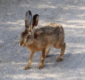 008-Feldhase-Lepus-europeus-L.-Klasing