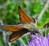 Braunkolbiger-Braundickkopffalter-Thymelicus-sylvestris-L. Klasing