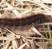 003-Raupe-Brombeerspinner-Macrothylacia-rub-L.-Klasing-