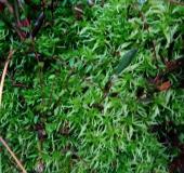 0015-Gefranstes-Torfmoos-Sphagnum-fimbriatum-L. Klasing