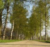 004-Frühling-Birke-Betula-spec.-L.-Klasing-