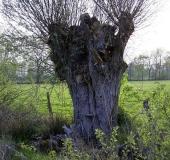 018-Kopfweide-Salix-viminalis-L.-Klasing-