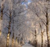 007-Winter-Birke-Betula-spec.-L.-Klasing-