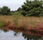 015-Waldkiefer-Pinus-sylvestris-L.-Klasing-