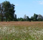 010-Feuchtwiese-Magerwiesen-Margerite-Leucanthemum-vulgare-L.-Klasing-