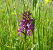018-Feuchtwiese-Knabenkraut-Orchidee-Dactylorhiza-majalis-L.-Klasing-