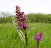 019-Feuchtwiese-Knabenkraut-Orchidee-Dactylorhiza-majalis-L.-Klasing-