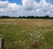 009-Feuchtwiese-Magerwiesen-Margerite-Leucanthemum-vulgare-L.-Klasing-