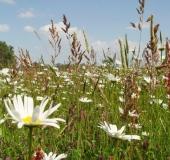 011-Feuchtwiese-Magerwiesen-Margerite-Leucanthemum-vulgare-L.-Klasing-