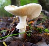 004-Gelber-Knollenblätterpilz-Amanita-citrina-L.-Klasing-