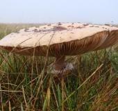 008-Riesenschirmpilz-Macrolepiota-procera-L.-Klasing-