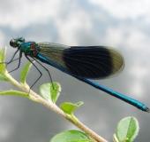 002-Gebänderte-Prachtlibelle-Calopteryx-splendens-L.-Klasing-
