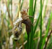 016-Vierfleck-Libelle-Libellula-quadrimaculata-L.-Klasing-