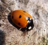 001-Siebenpunkt-Marienkäfer-Coccinella-septempunctata-L.Klasing