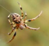 004-Gerandete-Schilfradspinne-Larinioides-patagiatus-L.-Klasing-