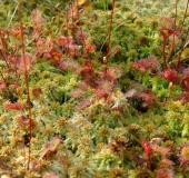 Torfmoos (Sphagnum spec) u. Sonnentau (Drosera rotundifolia)-L. Klasing
