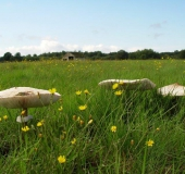 021-Feuchtwiese-Riesenschirmpilz-Macrolepiota-procera-L.-Klasing-