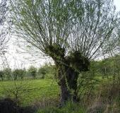 032-Feuchtwiese-Kopfweide-Salix-viminalis-L.-Klasing-