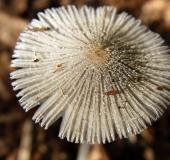 027-Rädchentintling-Coprinus-plicatilis-L.-Klasing-