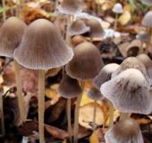 033-Mürblinge oder Faserlinge (Psathyrella)-L.-Klasing-
