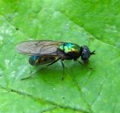 001-Waffenfliege-Chloromyia-formosa-L.-Klasing-