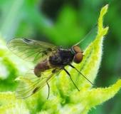 010-Schnepfenfliege-Chrysopilus-cristatus-L.-Klasing-