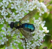 002-Waffenfliege-Chloromyia-formosa-L.-Klasing-