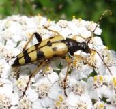 008-Gefleckter-Schmalbock-Rutpela-maculata-L.-Klasing-