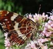 003-Landkärtchen-Sommergeneration-Araschnia-levana-L. Klasing