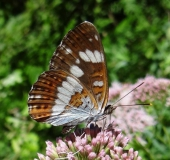 008-Kleiner-Eisvogel-Limenitis-camilla-L. Klasing