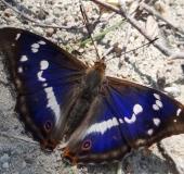 009-Großer-Schillerfalter-Apatura-iris-54-L. Klasing