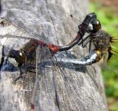 005-Paarung-Nordische-Moosjungfer-Leucorrhinia-rubicunda-L. Klasing