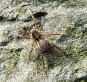016-Wolfsspinne-Pardosa-palustris-L.-Klasing-