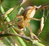 006-Heide-Sackspinne-Cheiracanthium-eraticumL.-Klasing-L.-Klasing-