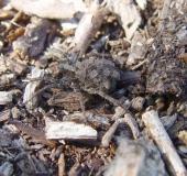 018-Wolfspinne-Pardosa-lugubris-L.-Klasing-