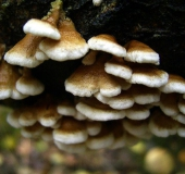 053-Krauser-Adernzähling-Plicaturopsis-crispa-L.-Klasing-