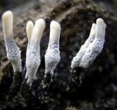 059-Geweihförmige-Holzkeule-Xylaria-hypoxylon-L.-Klasing-