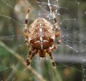 006-Gartenkreuzspinne-Araneus-diadematus-L. Klasing