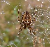 008-Gartenkreuzspinne-Araneus-diadematus-L. Klasing