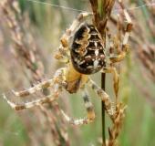 009-Gartenkreuzspinne-Araneus-diadematus-L. Klasing