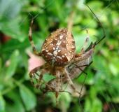 013-Gartenkreuzspinne-Araneus-diadematus-L. Klasing