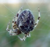007-Gartenkreuzspinne-Araneus-diadematus-L. Klasing