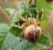 010-Gartenkreuzspinne-Araneus-diadematus-L. Klasing