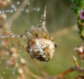 015-Gartenkreuzspinne-Araneus-diadematus-L. Klasing