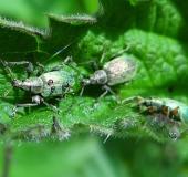 003-Nessel-Blattrüssler-Phyllobius-pomaceus-L.-Klasing-