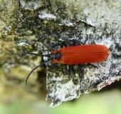 007-Rüssel-Rotdeckenkäfer-Lygistopterus-sanguineus.-L.-Klasing