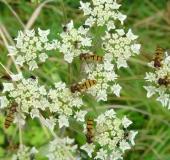 001-Hainschwebfliege-Episyrphus-balteatus-L.-Klasing-