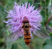 003-Hainschwebfliege-m.-Episyrphus-balteatus-L.-Klasing-